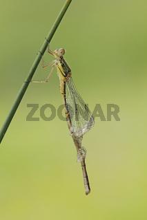 Kleinlibelle (Zygoptera)