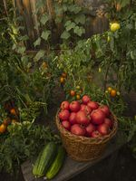 Harvest tomato and cucumber in a country garden