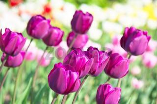 Lila Tulpen