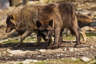 Timberwolf oder Amerikanischer Grauwolf