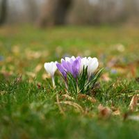 Blooming crocuses on a meadow in Herrenkrugpark in the north of Magdeburg in Germany in springtime