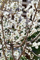Building through the flowering white trees. Close-up