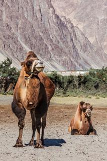 Camel in Nubra vally, Ladakh