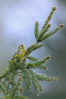 A male European Greenfinch uses a spruce branch as a song post / Chloris chloris