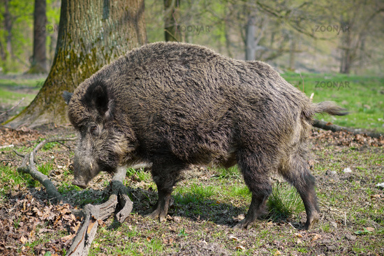 Wild-boar in the forest