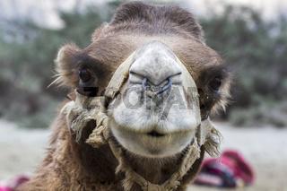 Kamel in Ladakh, Indien