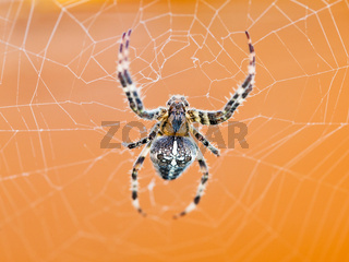 top view of spider at cobweb