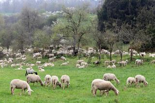 Schafherde auf der Schwäbischen Alb bei Langenau