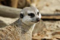 Meerkat 072