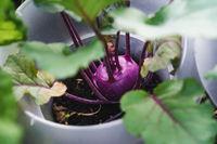 Purple kohlrabi plant