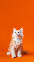 Pedigreed little cat with beautiful furry red silver fur sitting with head up on orange background