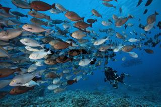 Grauer Doktorfisch, Franzoesisch Polynesien