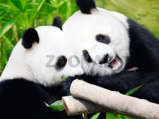 Couple of pandas