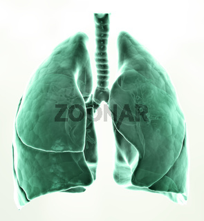 3D medical illustration - lungs