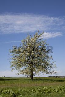 Kirschbaum blüht im Frühling