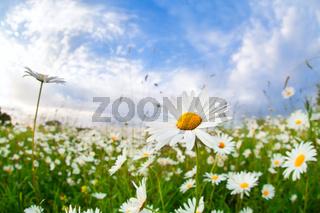 white camomile flower over blue sky