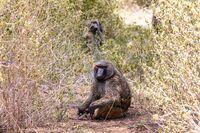 injured chacma baboon, papio ursinus, Ethiopia. Africa