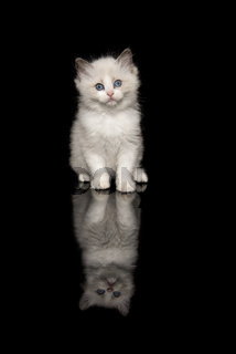Cute ragdoll kitten with blue eyes looking at the camera sitting on a black background with reflection