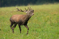 Red deer stag in heat roaring on a green meadow with blurred background