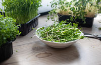 Cutted microgreens at the kitchen in the morning