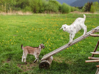Two young goat kids playing on wooden board, meadow with dandelions in background.