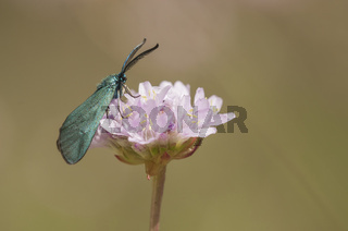 Grünwidderchen (Procridinae), Deutschland, Forester (Procridinae), Germany