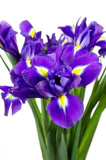 Schwertlilien (Iris) auf weißem Hintergrund