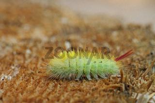 Buchen-Streckfuss (Calliteara pudibunda)