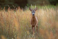 Roe deer buck standing in tall dry grass on a meadow in summer nature
