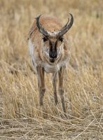 Pronghorn Antelope Saskatchewan