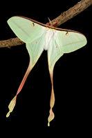 Actias dubernadi (female)