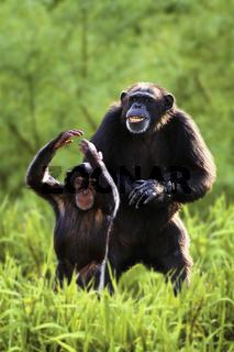 Schimpansen, Weibchen und Jungtier