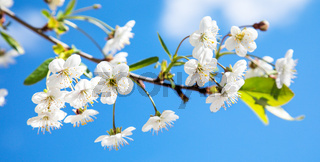 Beautiful cherry flowers in sping