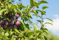 ripe plums on tree against blue sky