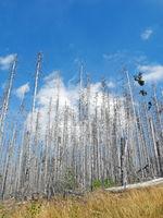 Dead spruce forest in German low mountain range Harz Mountains