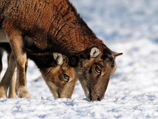 Muffelwild,Winter