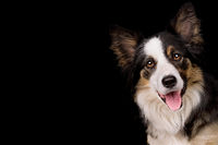 portrait of a border collie sheep dog
