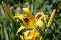 Day lily, Hemerocallis