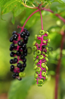 Fruchstände der Amerikanischen Kernesbeere (Phytolacca americana) in verschiedenen Reifestadien / Infructescences of American Pokeweed (Phytolacca americana) in different stages of maturity