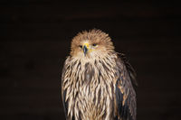 Imperial eagle, Aquila heliaca,