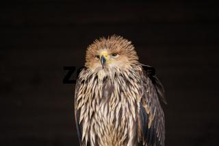 Kaiseradler, Aquila heliaca,
