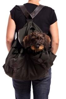 Hund Dackel im Rucksack