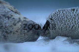 Kegelrobben im Sand-Schneesturm