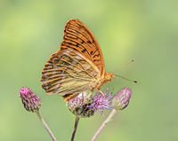 Silver-washed fritillary  'Argynnis paphia'