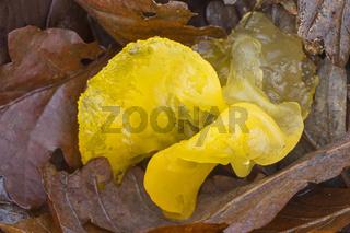Goldgelber Zitterling liegt zwischen Laub / Tremella mesenterica