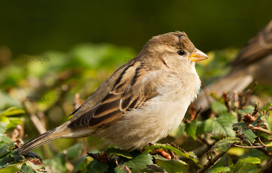Sparrow with tick