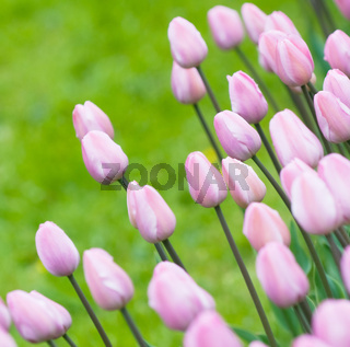 pink tulips, very shallow focus
