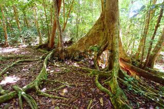 Fig Tree in Virgin Islands