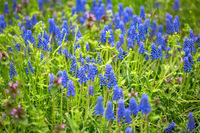 Blue muscari in a spring meadow.