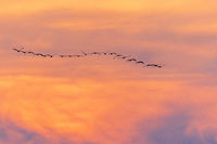Kranichzug im Sonnenuntergang 7